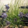 Аквариумные рыбки скалярии: содержание и совместимость