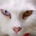 Ангорская кошка: описание породы