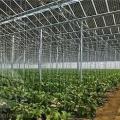 Баклажаны в теплице: выращивание и уход