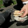 Чем кормить голубей?