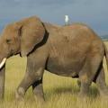 Чем отличается африканский слон от индийского слона?