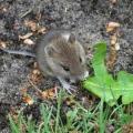 Чем питаются мыши?