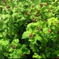 Чтобы собрать хороший урожай, узнайте, как и когда обрезать малину