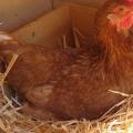 Как куры несут яйца?