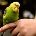 Как научить волнистого попугая говорить за короткое время