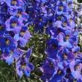 Как называются синие цветы?