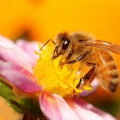 Как пчёлы делают мёд?