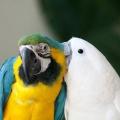 Как размножаются попугаи?