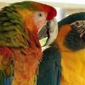 Как выбирать имена для попугаев (мальчиков)