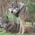 Как живут волки?