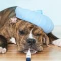 Какая температура должна быть у собак и как ее правильно измерить