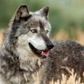Какой он: волк?