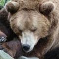 Почему медведи спят зимой?
