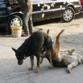 Почему собаки слипаются?