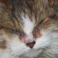 Почему у кота слезятся глаза? кот чихает, и слезятся глаза - что делать?