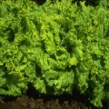 Салат латук - полезно и вкусно