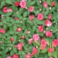 Ванька мокрый - цветок из рода бальзаминов