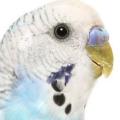 Вы не знаете, как научить волнистого попугая разговаривать? практические советы и рекомендации любителям пернатых
