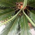 Выращиваем цикас. желтеют листья - в чем причина?