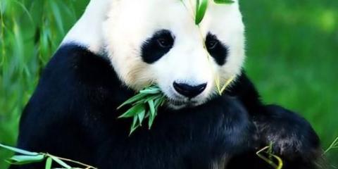 Что ест панда?