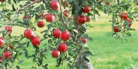 К чему снится яблоня?