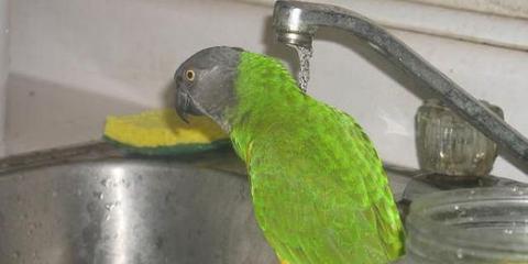 Как купать попугая?